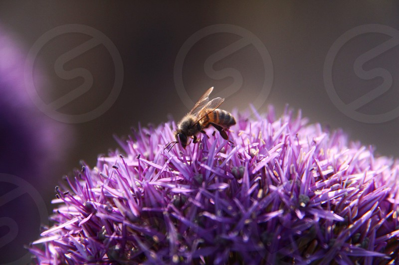 black and yellow bee on purple flowers nature photography photo
