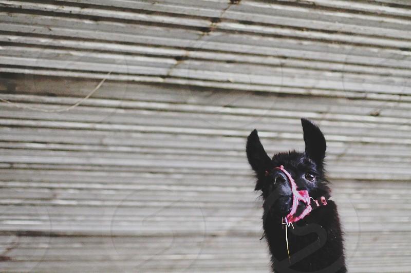 Dolly Llama photo