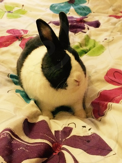 Dutchy rabbit on flower bed spread  photo