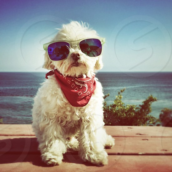small white dog in white sunglasses and a red bandana in front of the ocean photo