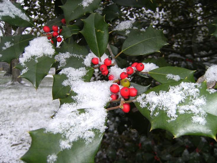 Snow on Holly Tree photo