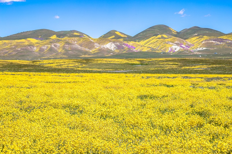 Wildflowers at Carrizo plains CA photo