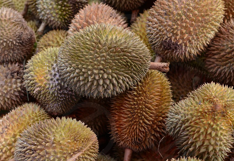 Durian Fruits at the day Market in the city of Phuket on the Phuket Island in the south of Thailand in Southeastasia.
