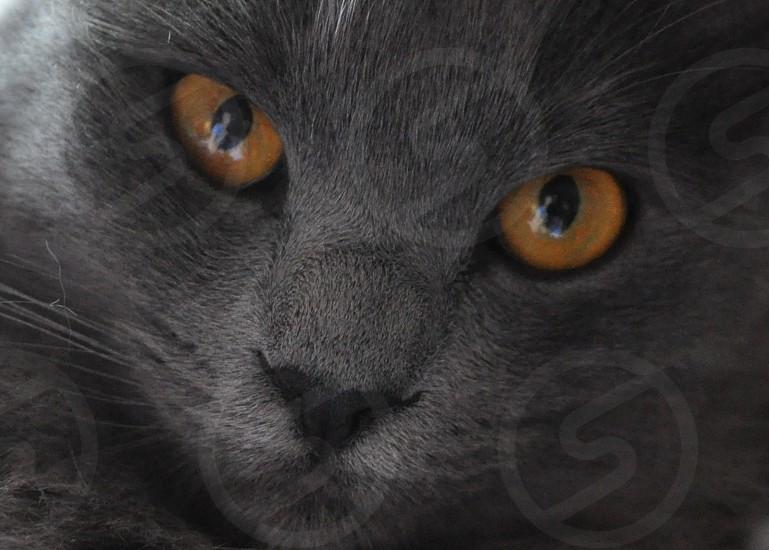 Close up of Grey kitty cat with orange eyes  photo