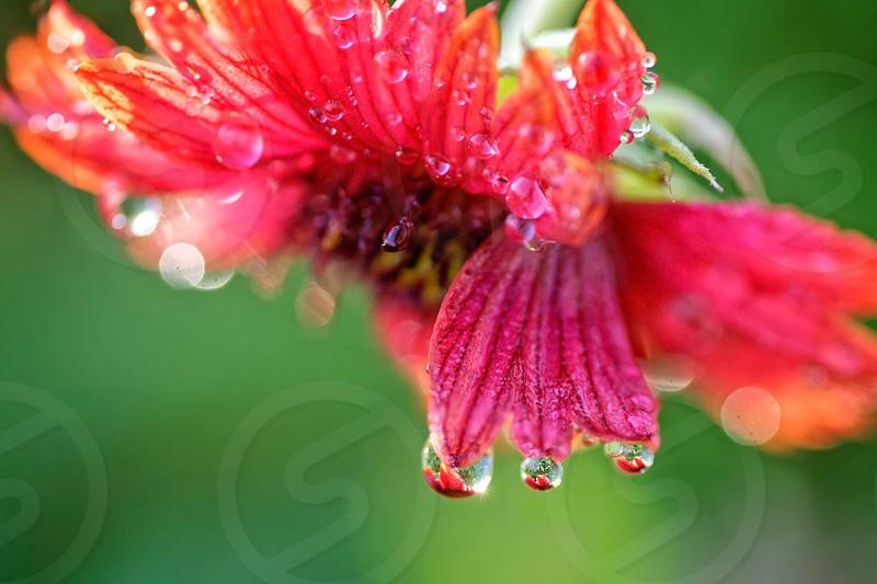 fresh waterdropsflowerplantgreenredreflectionmacroclose life photo