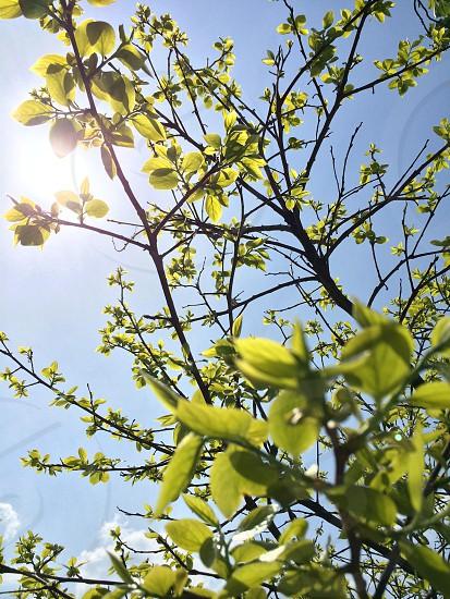 柿の若葉(Young leaves of persimmon) photo