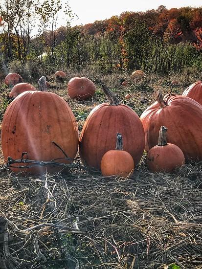 Pumpkins in a pumpkin patch. photo