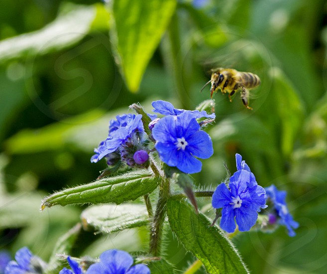hovering honey bee blue flowers photo