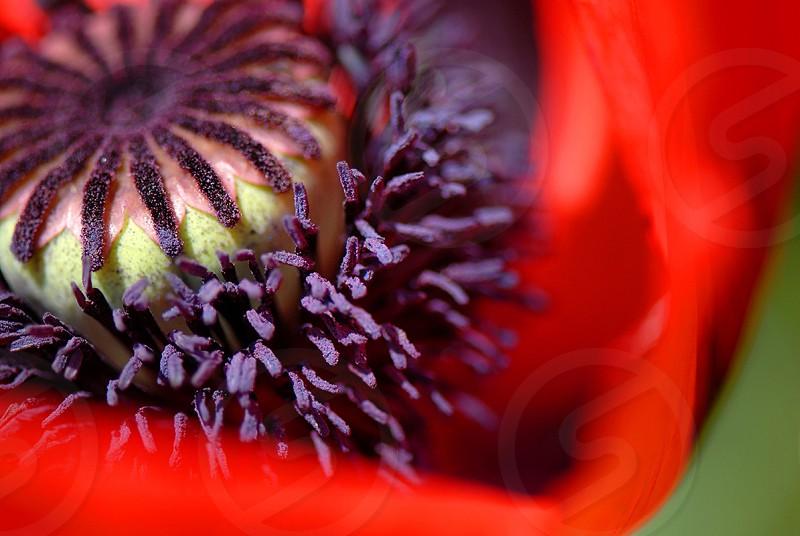 A velvety poppy. photo