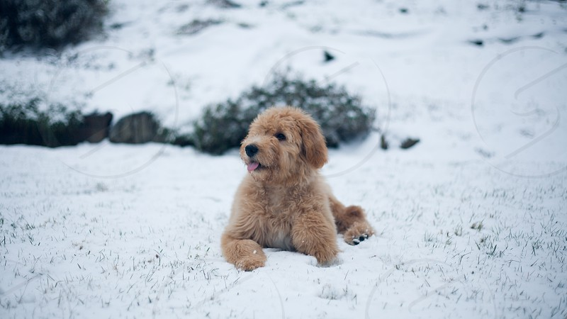 golden retriever puppy photo
