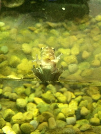 Green frog on glass of tank photo