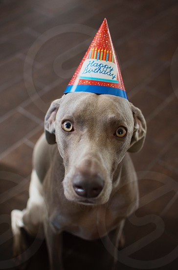 chocolate labrador retriever wearing red blue white and orange birthday hat looking up photo