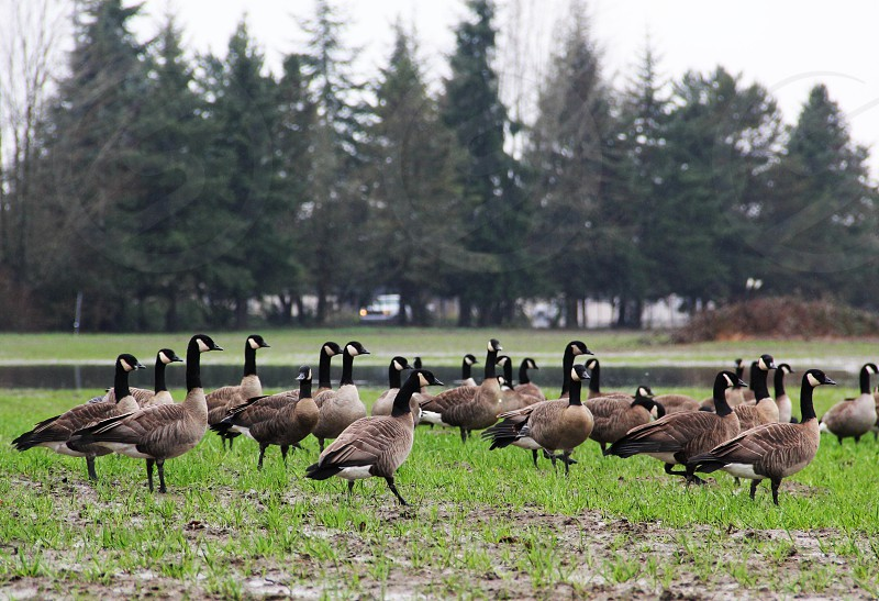 geese in a field photo