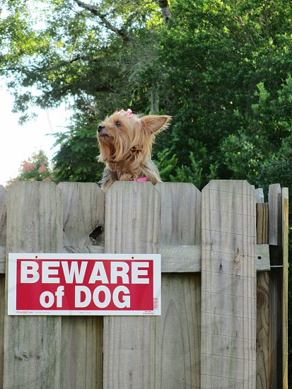 """Adorable small Yorkshire Terrier looking over a high fence posted with a """"beware of dog"""" sign that is larger than dog. photo"""