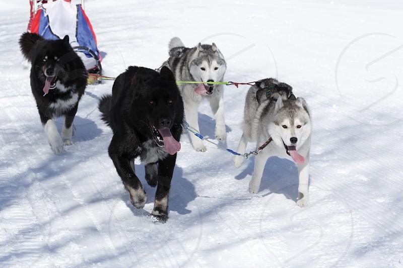 PETROPAVLOVSK-KAMCHATSKY CITY KAMCHATKA PENINSULA RUSSIA - FEB 23 2017: Kamchatka Kids Competitions Sled Dog Race Dyulin (Beringia). Runs dog sled young Kamchatka musher Lyulin Kirill. photo