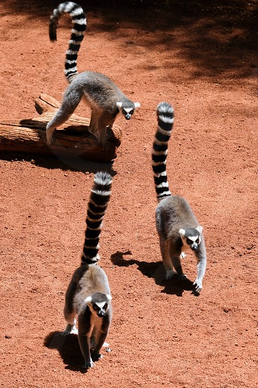 FUENGIROLA ANDALUCIA/SPAIN - JULY 4 : Ring-tailed Lemurs (Lemur catta) at the Bioparc in Fuengirola Costa del Sol Spain on July 4 2017 photo