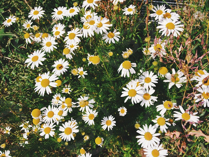 white and yellow daisy photo