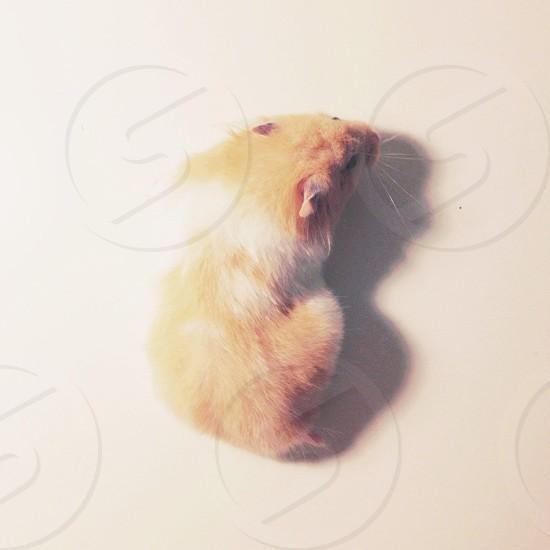 orange and white hamster photo