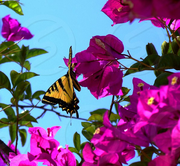 Bright yellow and black butterfly perches on a magenta bougainvillea bush photo