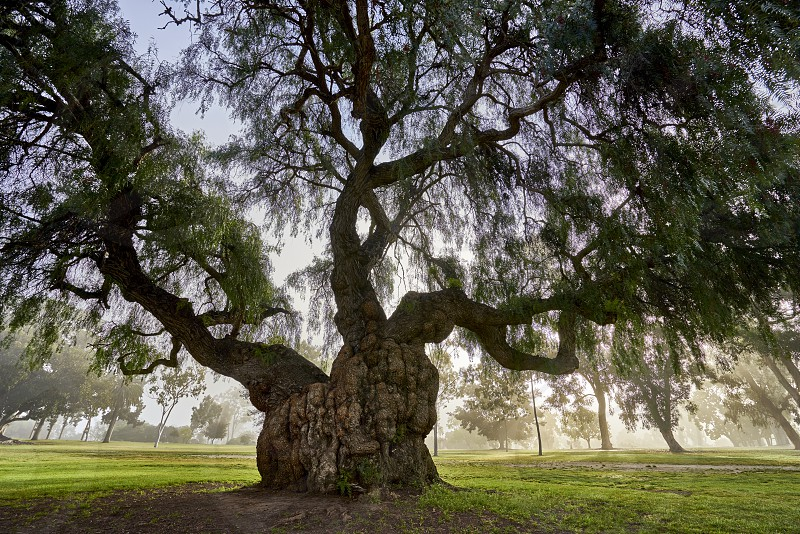 large old tree with a lot of character photo
