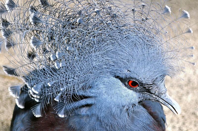 Peacock Pigeon  photo