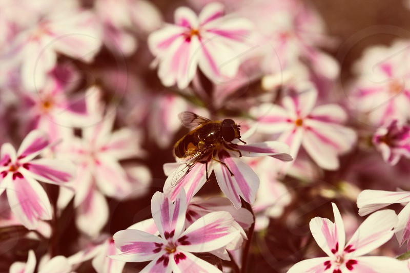 closeup photo of bee perched on white and pink petaled flower photo