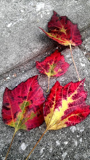 Leaves Leaf Red Pavement Fall photo