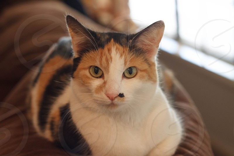 Cat companion feline pet cats calico eyes cat eyes indoors light daylight daytime family pet calico cat stare fur whiskers green eyes  photo