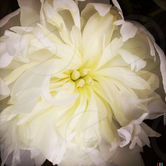 white and yellow peony macro photography photo
