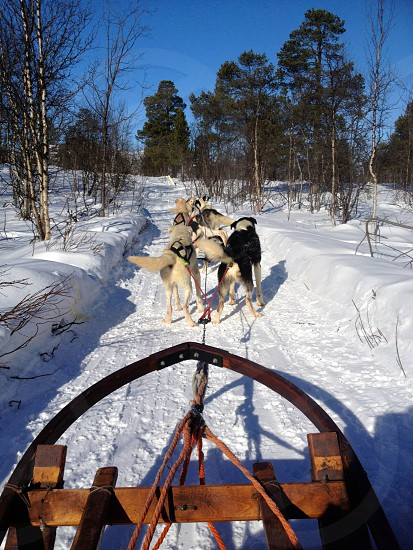 Dog sledding in Kiruna Sweden photo