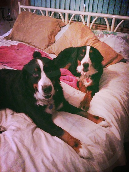 black white and brown dogs on bed photo
