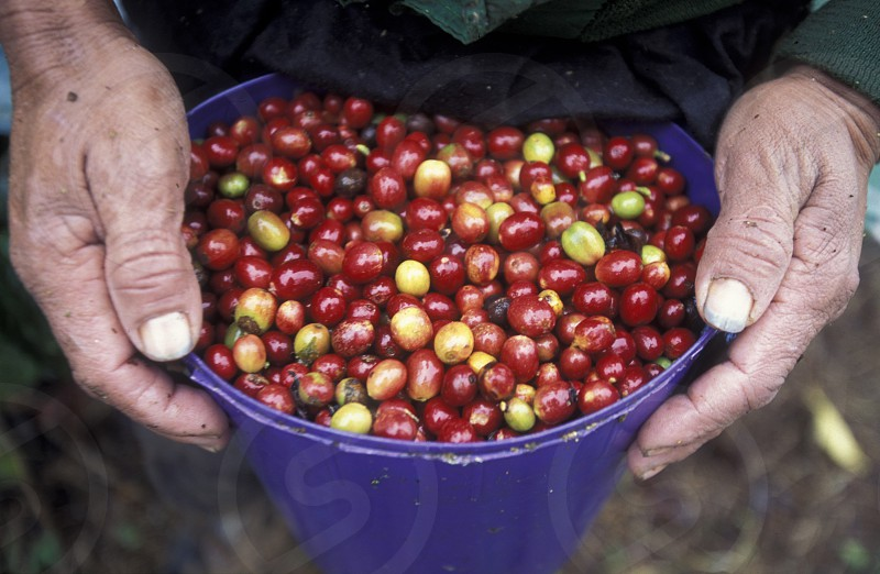 AMERICA LATIN AMERICA CENTRAL MAERICA HONDURAS COPAN PLANTATION CAFE KOFFEE KOFFE AGRACULTURE NATURE PLANT photo