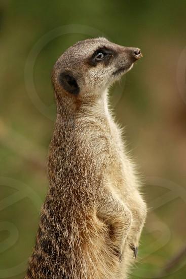 Meerkat guarding animal wildlife profile photo