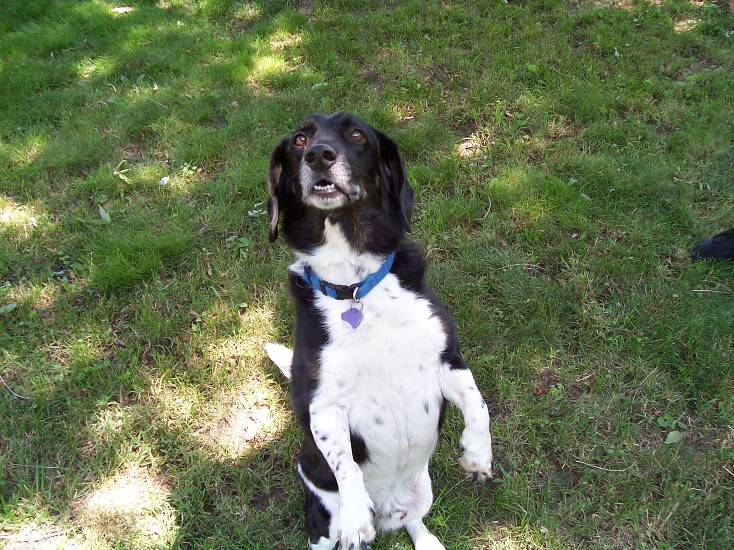 black and white dog with blue collar standing on hind legs photo