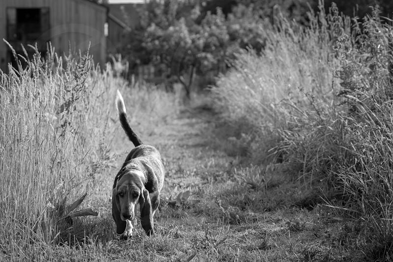 A basset hound walking down a grass cut path in black and white photo