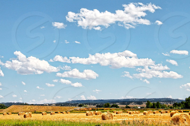 Wide landscape view of a golden field w=filled with  round hay bales under a blue sky with white clouds. photo
