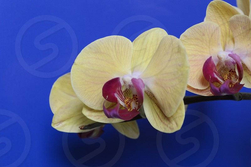 Flower flowers orchid colors colorful blue yellow bold spring still life photo
