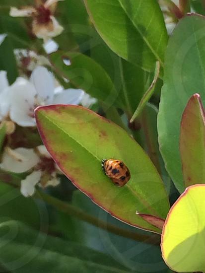 テントウムシのサナギ(Pupa of the ladybug) photo