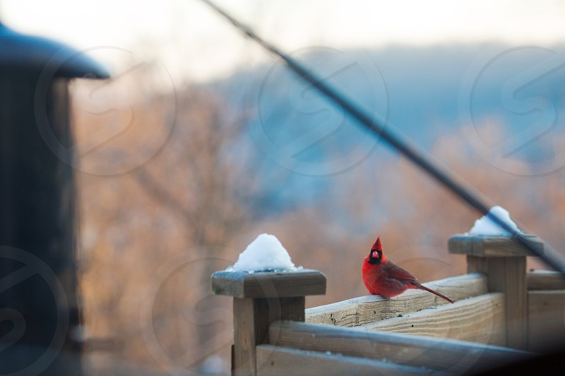 Cardinal in winter with blue mountains in background. photo