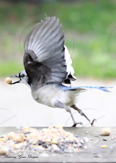 Blue Jay grabbing a peanut and flying off! photo