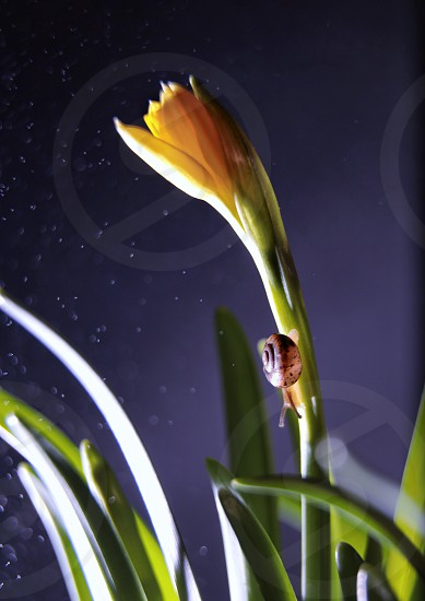 Snail flower narcissus nature yellow plant  photo