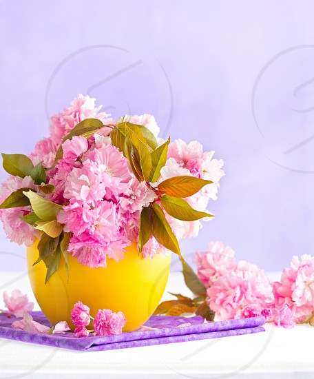 Spring still life of cherry tree blooms in a yellow vase with a purple background photo