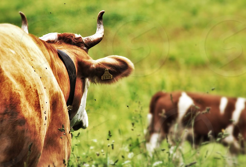 brown and white cow photo