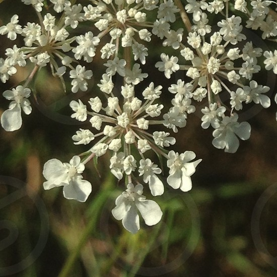 The Queen's Lace photo