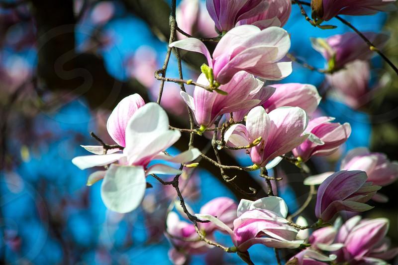 Blooming Magnolia Tree photo