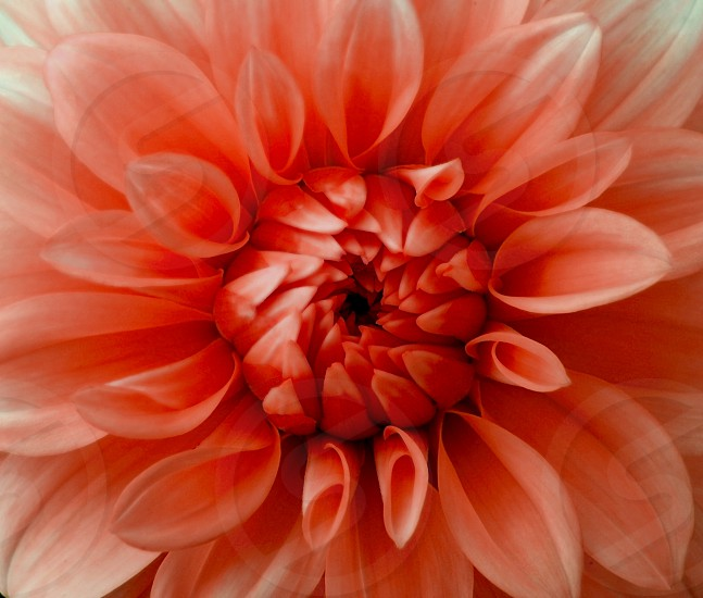 Bright red flower clouse-up.  photo