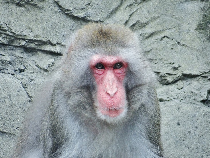 grey hair pink face baboon photo