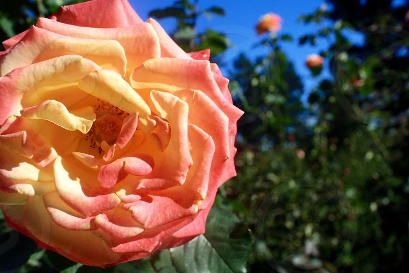Rose Garden in Portland Oregon photo