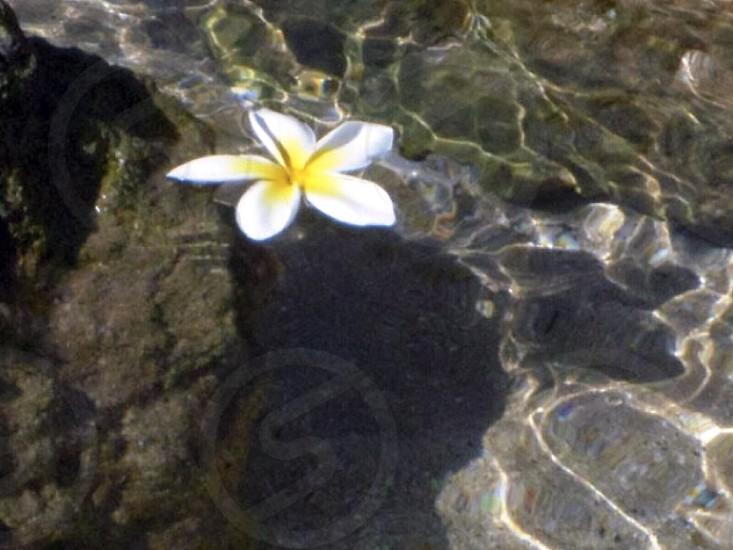Plumeria Maui photo