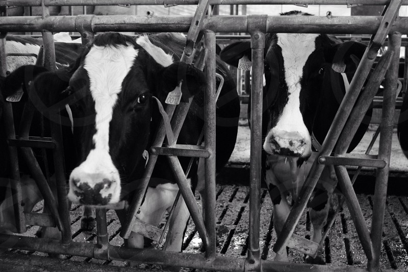 Cow cows farm dairy factory milk milking stable agriculture black white farming farmer  photo